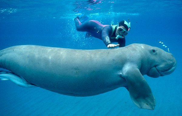 http://suzanne.sente.free.fr/dugong/dugong&homme.jpg